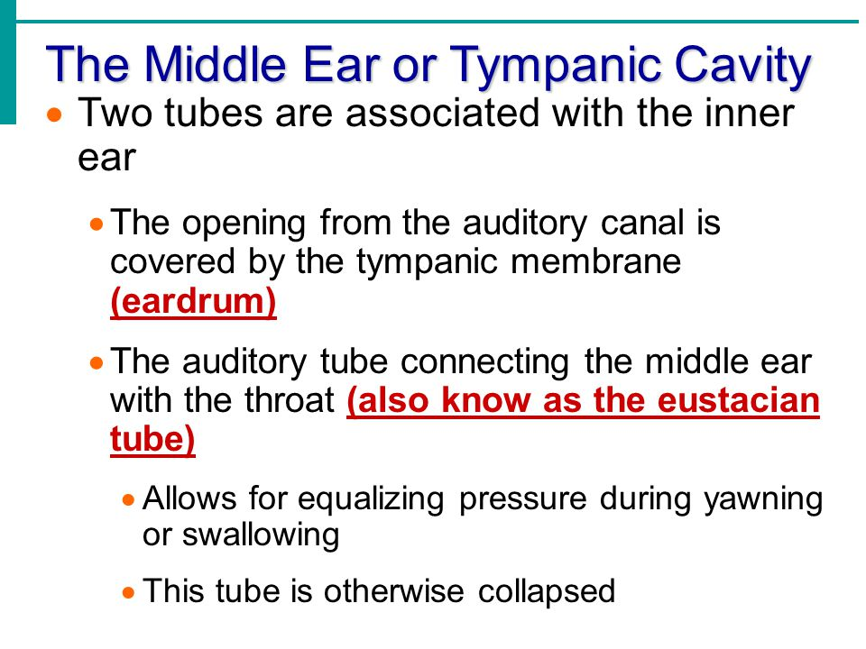 The Middle Ear or Tympanic Cavity  Two tubes are associated with the inner ear  The opening from the auditory canal is covered by the tympanic membr