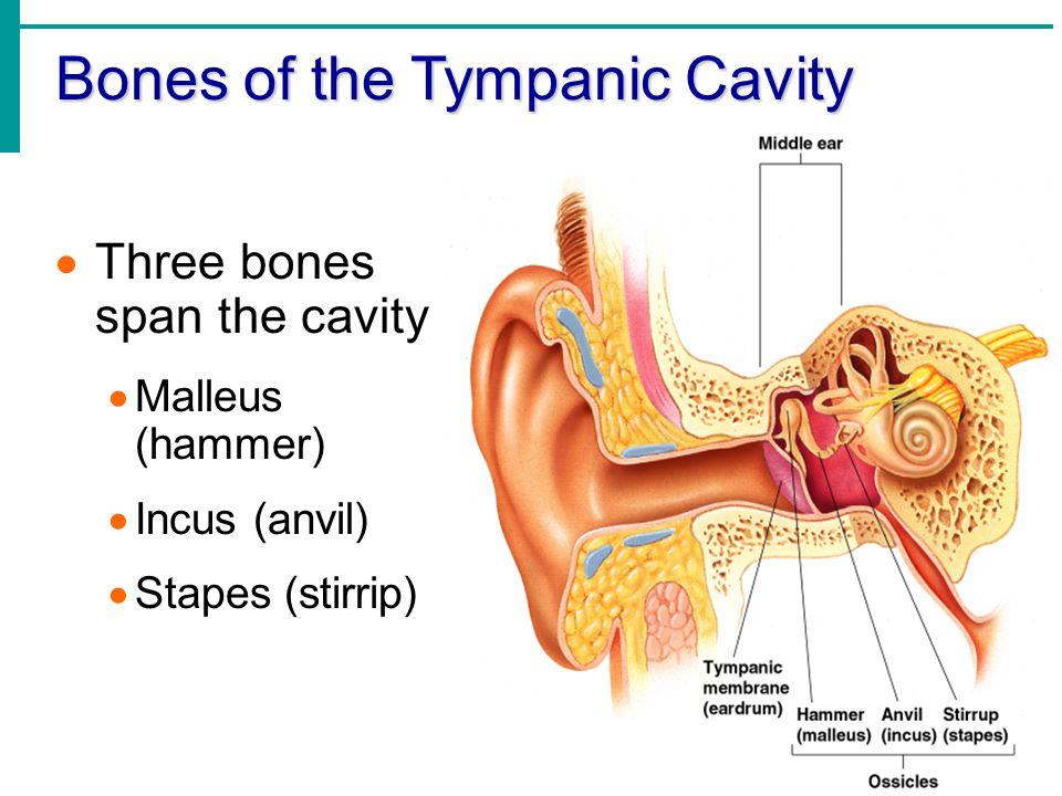 Bones of the Tympanic Cavity  Three bones span the cavity  Malleus (hammer)  Incus (anvil)  Stapes (stirrip)