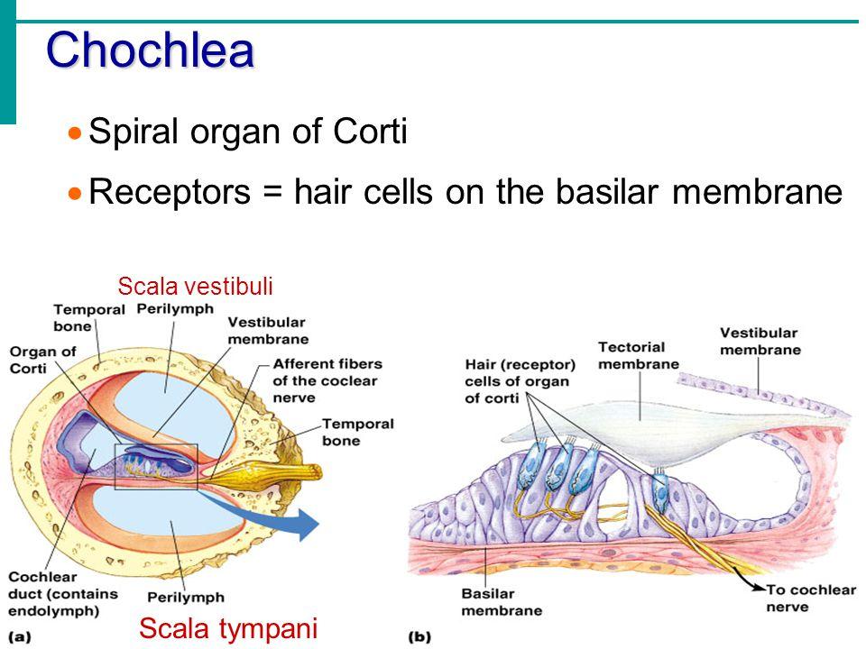 Chochlea  Spiral organ of Corti  Receptors = hair cells on the basilar membrane Scala tympani Scala vestibuli