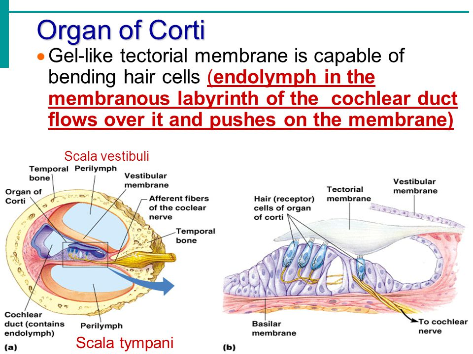  Gel-like tectorial membrane is capable of bending hair cells (endolymph in the membranous labyrinth of the cochlear duct flows over it and pushes on