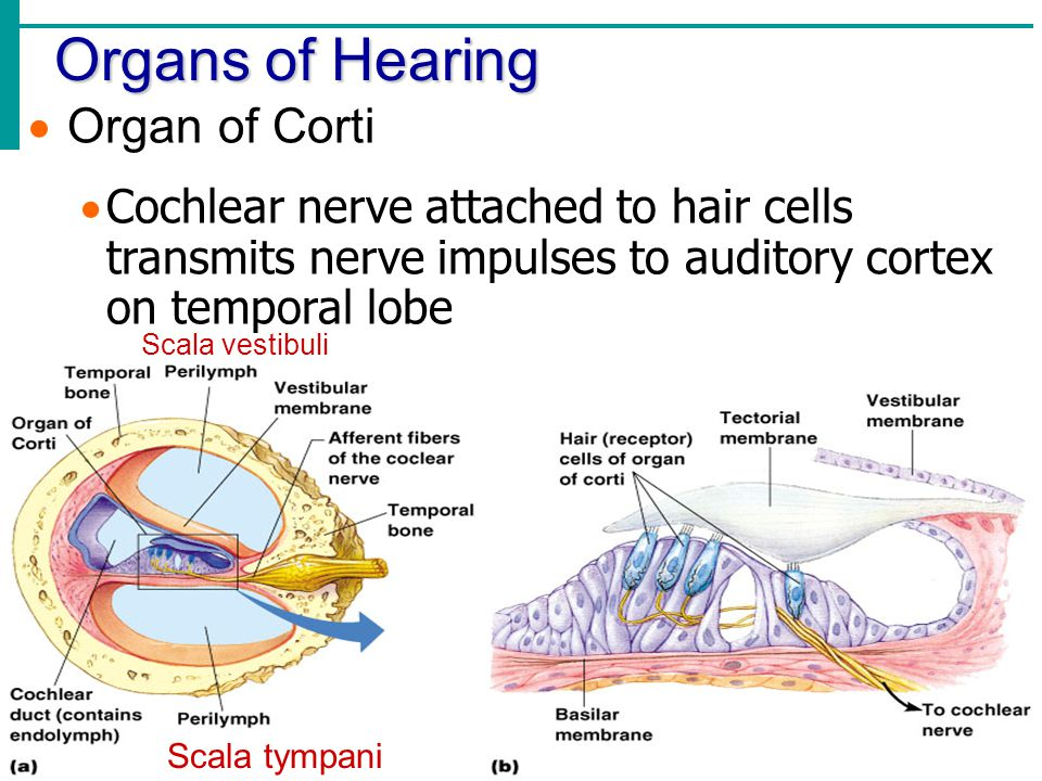 Organs of Hearing  Organ of Corti  Cochlear nerve attached to hair cells transmits nerve impulses to auditory cortex on temporal lobe Scala tympani
