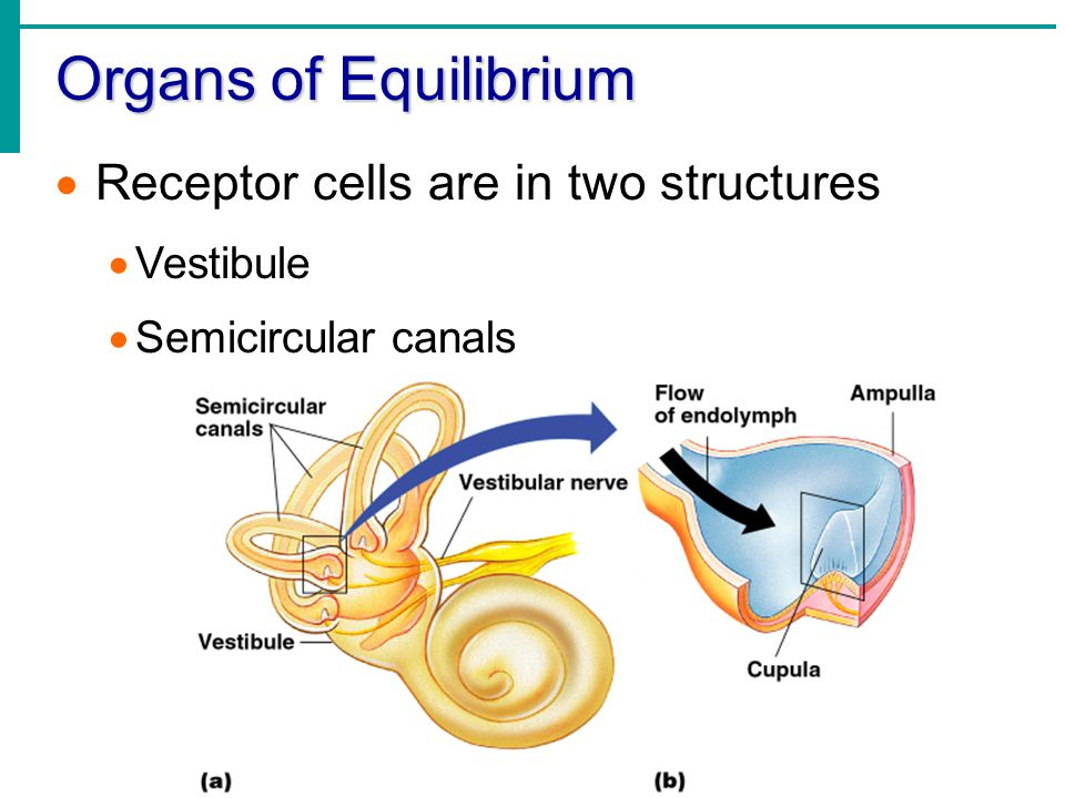 Organs of Equilibrium  Receptor cells are in two structures  Vestibule  Semicircular canals