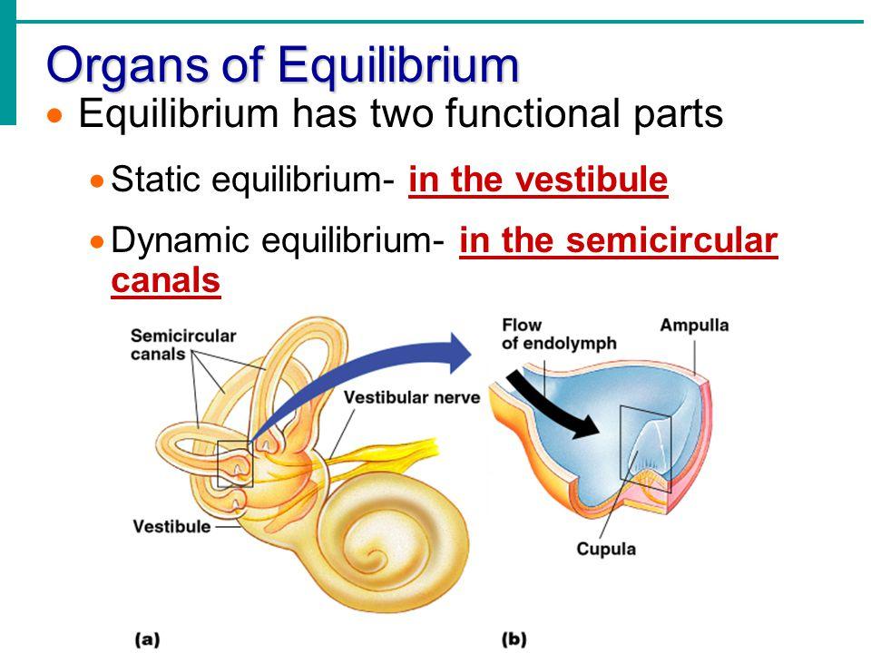 Organs of Equilibrium  Equilibrium has two functional parts  Static equilibrium- in the vestibule  Dynamic equilibrium- in the semicircular canals