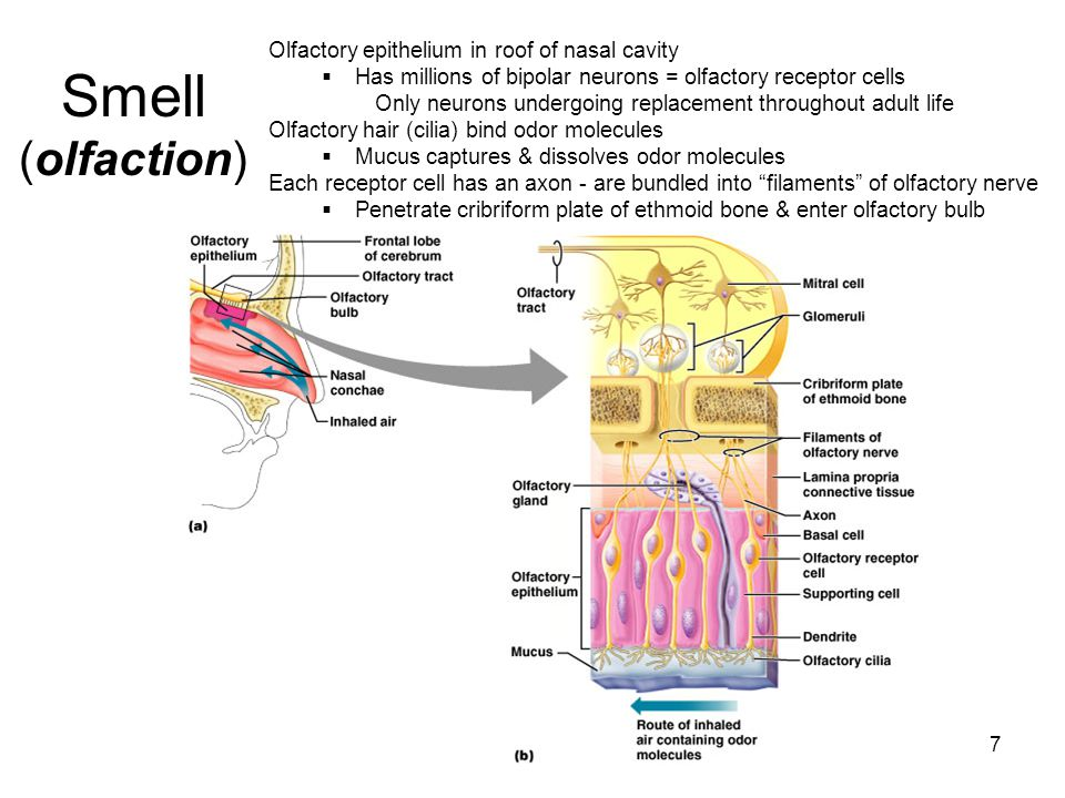 8  Olfactory bulb is in forebrain  In bulb nerve axons branch and synapse with mitral cells (neurons in clusters of glomeruli )  Mitral cells send signals via olfactory tract Olfactory bulb__ _______Olfactory tract Filaments of Olfactory nerve (CN I) * *