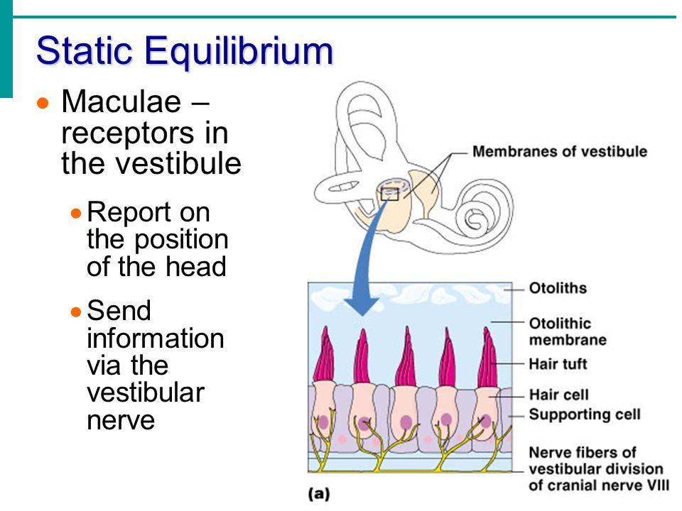 Static Equilibrium  Maculae – receptors in the vestibule  Report on the position of the head  Send information via the vestibular nerve