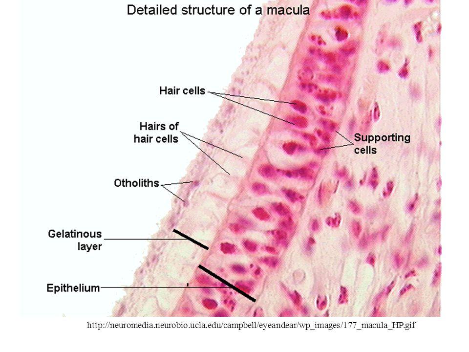 http://neuromedia.neurobio.ucla.edu/campbell/eyeandear/wp_images/177_macula_HP.gif