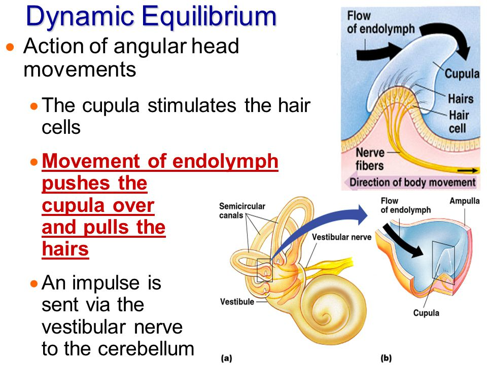 Dynamic Equilibrium  Action of angular head movements  The cupula stimulates the hair cells  Movement of endolymph pushes the cupula over and pulls