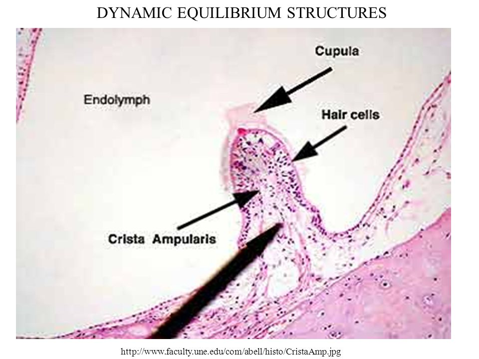 DYNAMIC EQUILIBRIUM STRUCTURES http://www.faculty.une.edu/com/abell/histo/CristaAmp.jpg