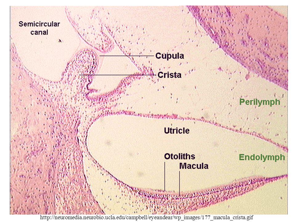 http://neuromedia.neurobio.ucla.edu/campbell/eyeandear/wp_images/177_macula_crista.gif
