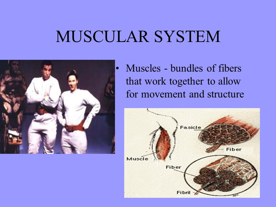 MUSCULAR SYSTEM Muscles - bundles of fibers that work together to allow for movement and structure
