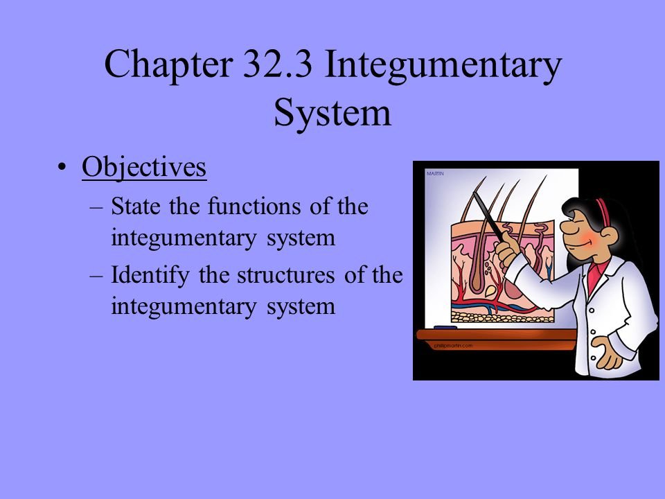 Chapter 32.3 Integumentary System Objectives –State the functions of the integumentary system –Identify the structures of the integumentary system