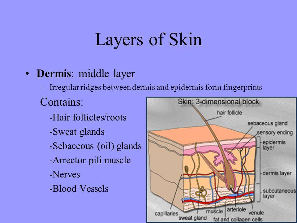 Layers of Skin Dermis: middle layer –Irregular ridges between dermis and epidermis form fingerprints Contains: -Hair follicles/roots -Sweat glands -Sebaceous (oil) glands -Arrector pili muscle -Nerves -Blood Vessels