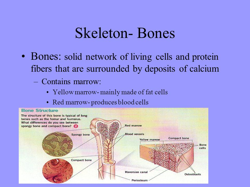Skeleton- Bones Bones: solid network of living cells and protein fibers that are surrounded by deposits of calcium –Contains marrow: Yellow marrow- mainly made of fat cells Red marrow- produces blood cells