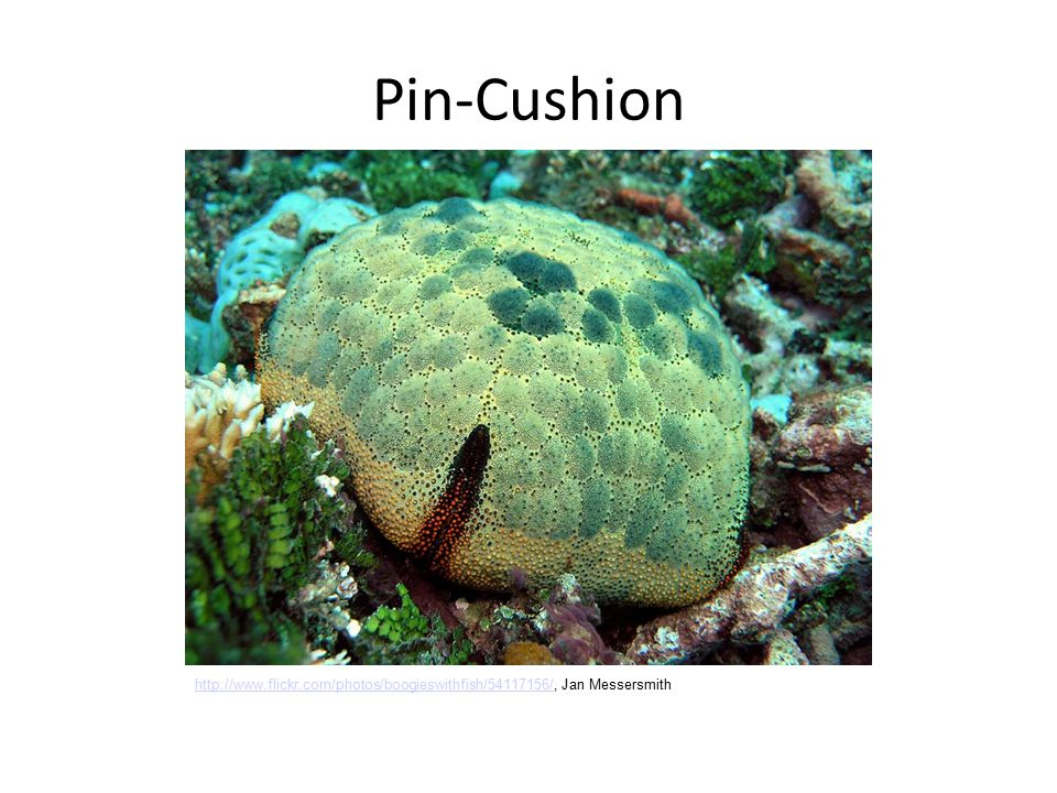 Pin-Cushion http://www.flickr.com/photos/boogieswithfish/54117156/http://www.flickr.com/photos/boogieswithfish/54117156/, Jan Messersmith