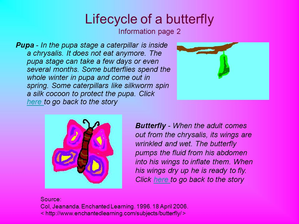 Lifecycle of a butterfly Information page 2 Pupa - In the pupa stage a caterpillar is inside a chrysalis.