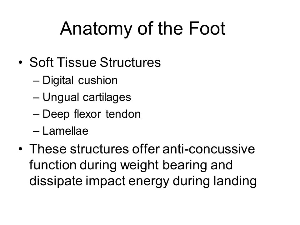 Anatomy of the Foot Soft Tissue Structures –Digital cushion –Ungual cartilages –Deep flexor tendon –Lamellae These structures offer anti-concussive fu