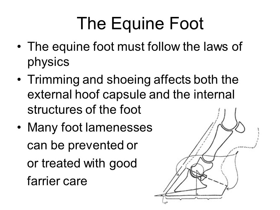 The Equine Foot The equine foot must follow the laws of physics Trimming and shoeing affects both the external hoof capsule and the internal structure