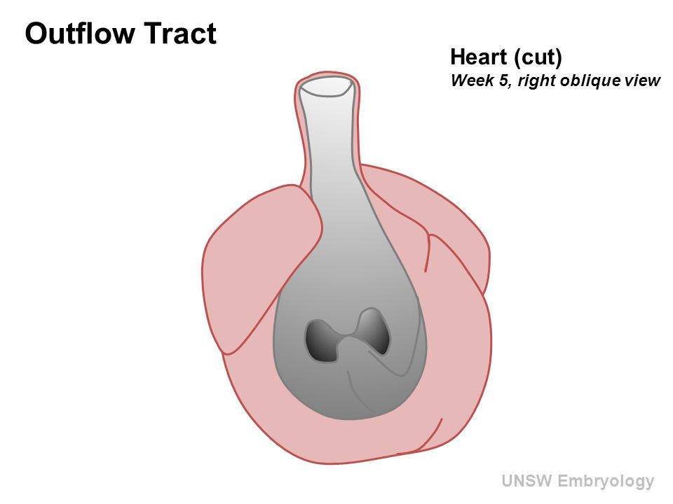UNSW Embryology Outflow Tract Heart (cut) Week 5, right oblique view