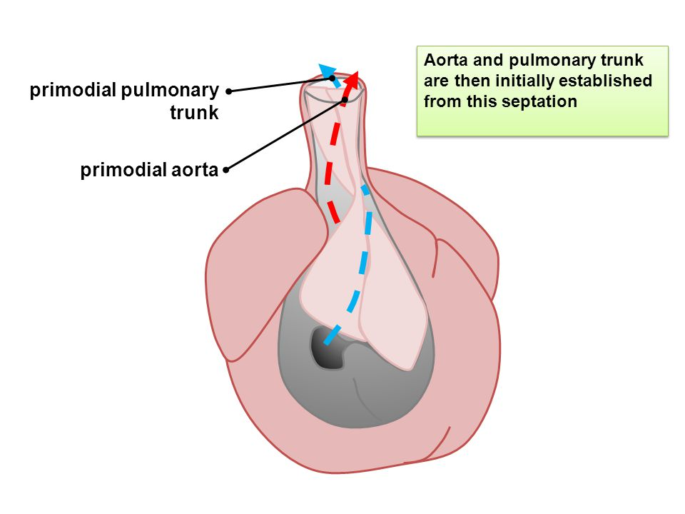 primodial pulmonary trunk primodial aorta Aorta and pulmonary trunk are then initially established from this septation