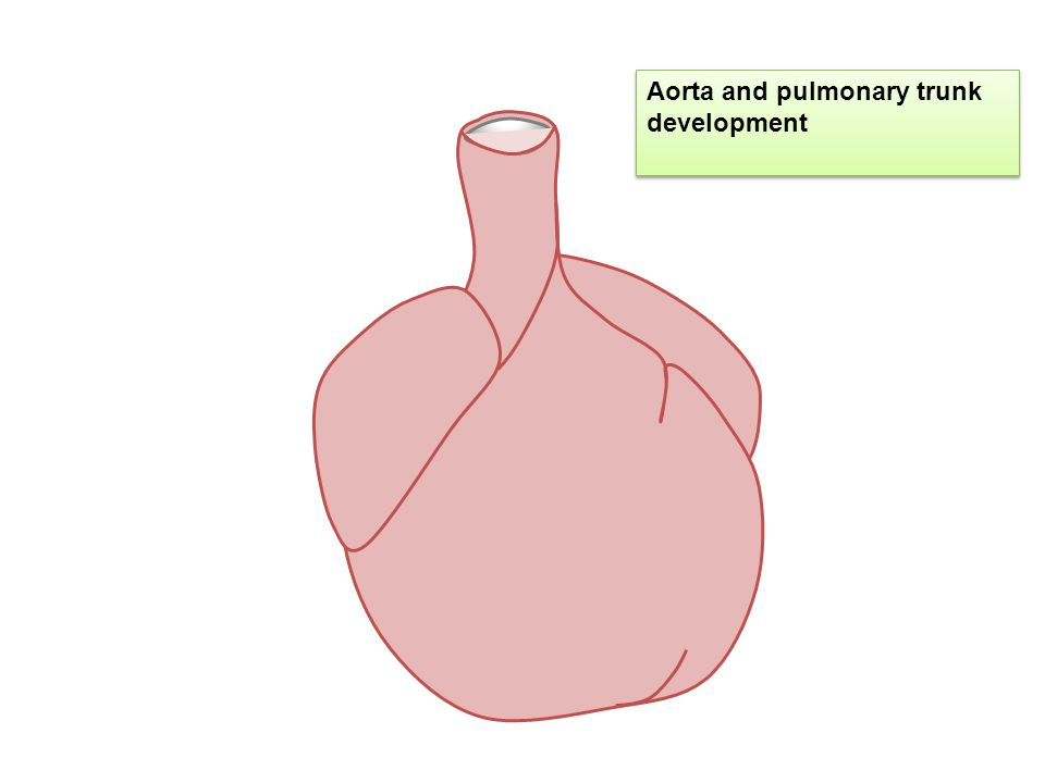 Aorta and pulmonary trunk development