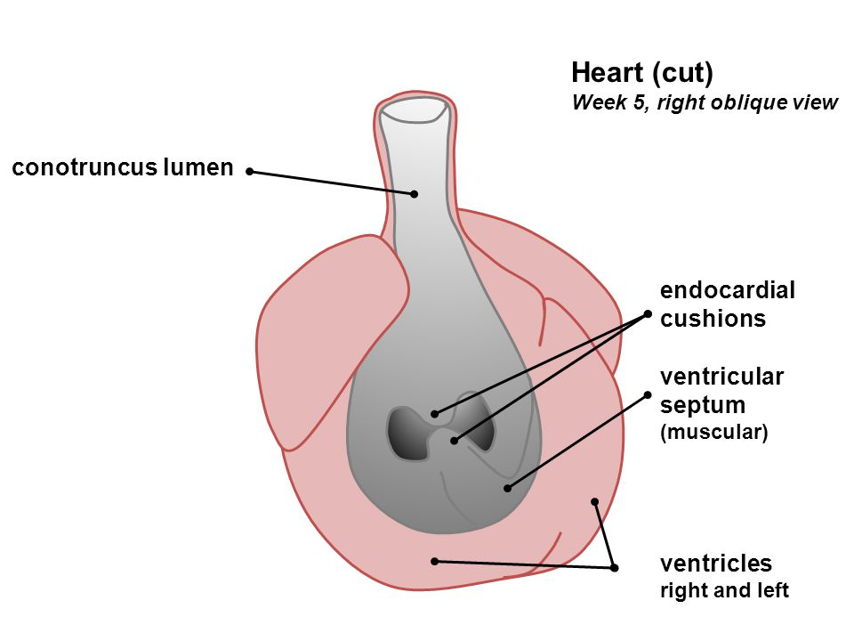 ventricular septum (muscular) endocardial cushions ventricles right and left Heart (cut) Week 5, right oblique view conotruncus lumen