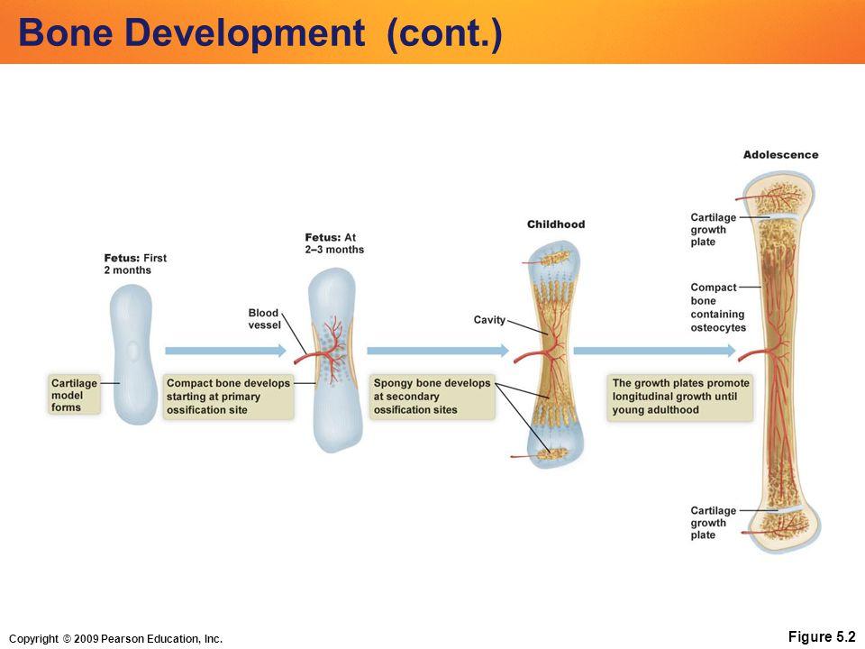 Copyright © 2009 Pearson Education, Inc. Bone Development (cont.) Figure 5.2