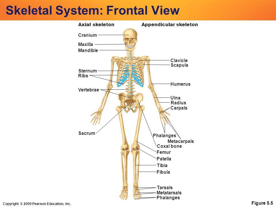Copyright © 2009 Pearson Education, Inc. Skeletal System: Frontal View Figure 5.5 Cranium Maxilla Mandible Clavicle Sternum Ribs Humerus Vertebrae Uln