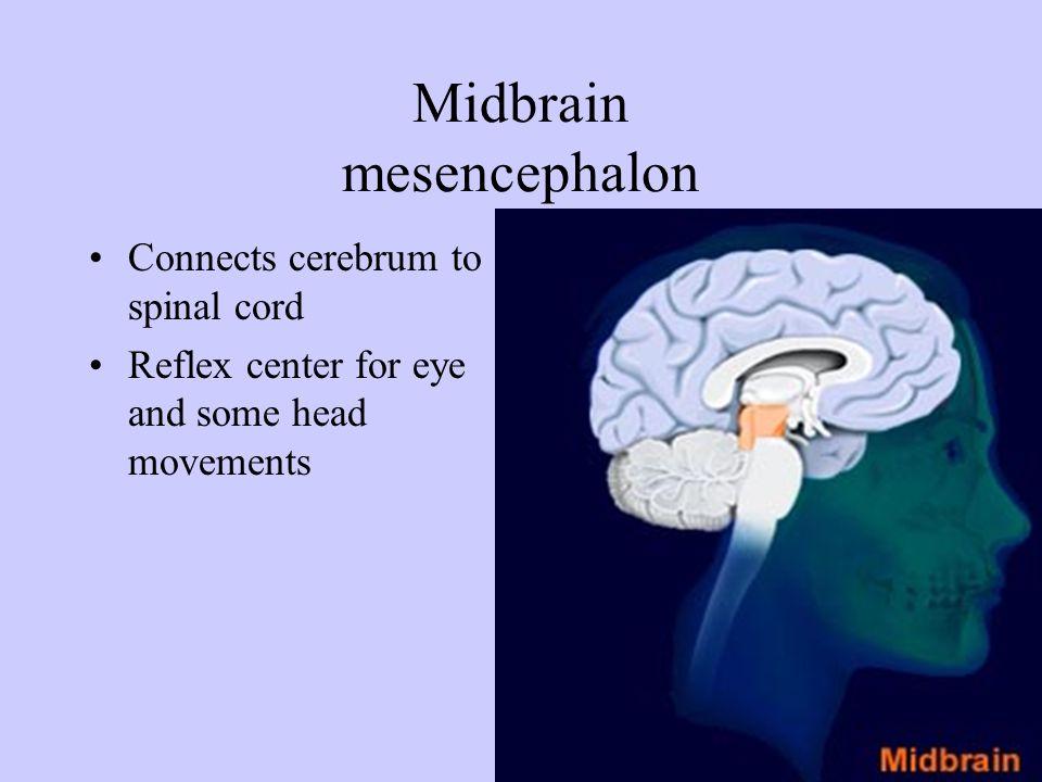 Forebrain prosencepahlon Includes hypothalamus, thalamus and cerebrum