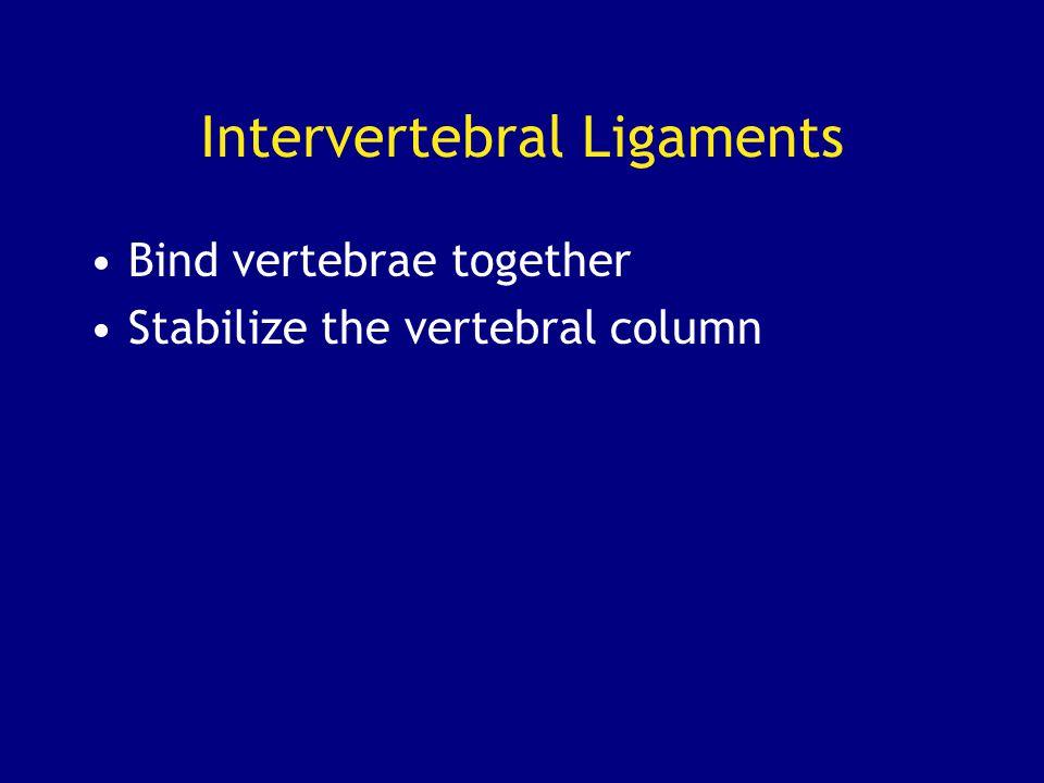 Intervertebral Ligaments Bind vertebrae together Stabilize the vertebral column