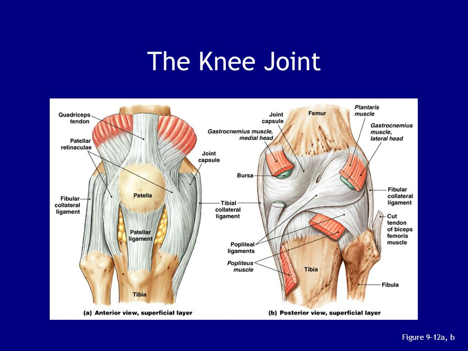 The Knee Joint Figure 9–12a, b