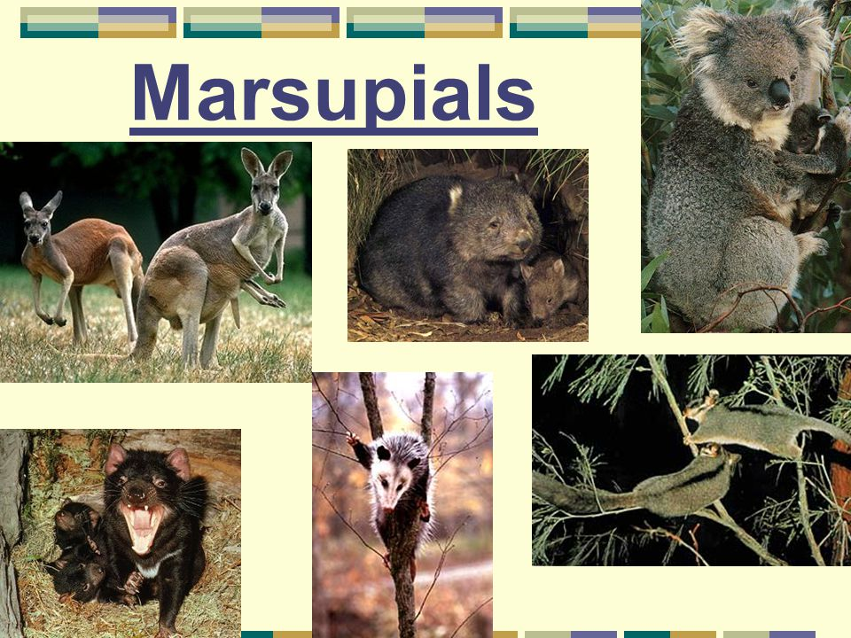 Marsupials Are mammals that do not have a placenta The embryo is born at a relatively premature stage, and completes its development externally in a pouch that contain mammary glands Examples are kangaroos, wombat, Tasmanian devil and opossum