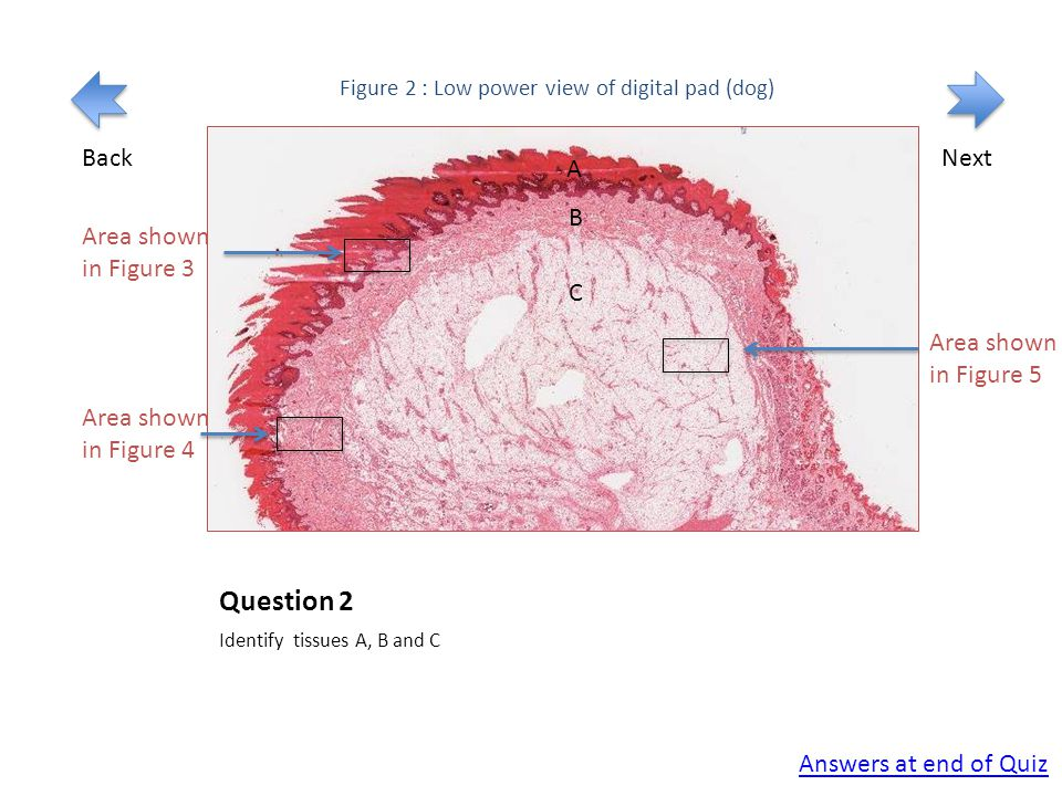 Question 2 Identify tissues A, B and C Figure 2 : Low power view of digital pad (dog) Area shown in Figure 3 Connective tissue A B C Answers at end of Quiz BackNext Area shown in Figure 4 Area shown in Figure 5