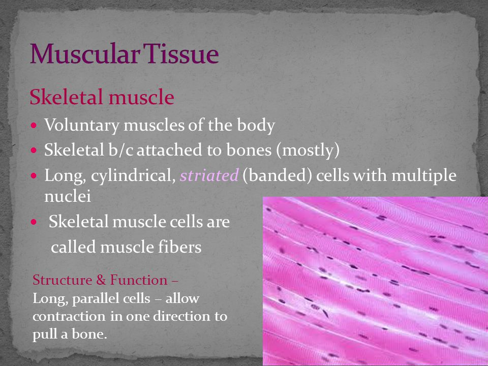 Skeletal muscle Voluntary muscles of the body Skeletal b/c attached to bones (mostly) Long, cylindrical, striated (banded) cells with multiple nuclei Skeletal muscle cells are called muscle fibers Structure & Function – Long, parallel cells – allow contraction in one direction to pull a bone.
