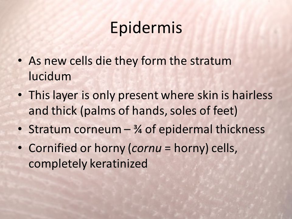 Epidermis As new cells die they form the stratum lucidum This layer is only present where skin is hairless and thick (palms of hands, soles of feet) S