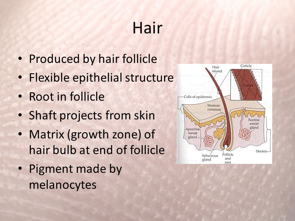 Hair Produced by hair follicle Flexible epithelial structure Root in follicle Shaft projects from skin Matrix (growth zone) of hair bulb at end of fol