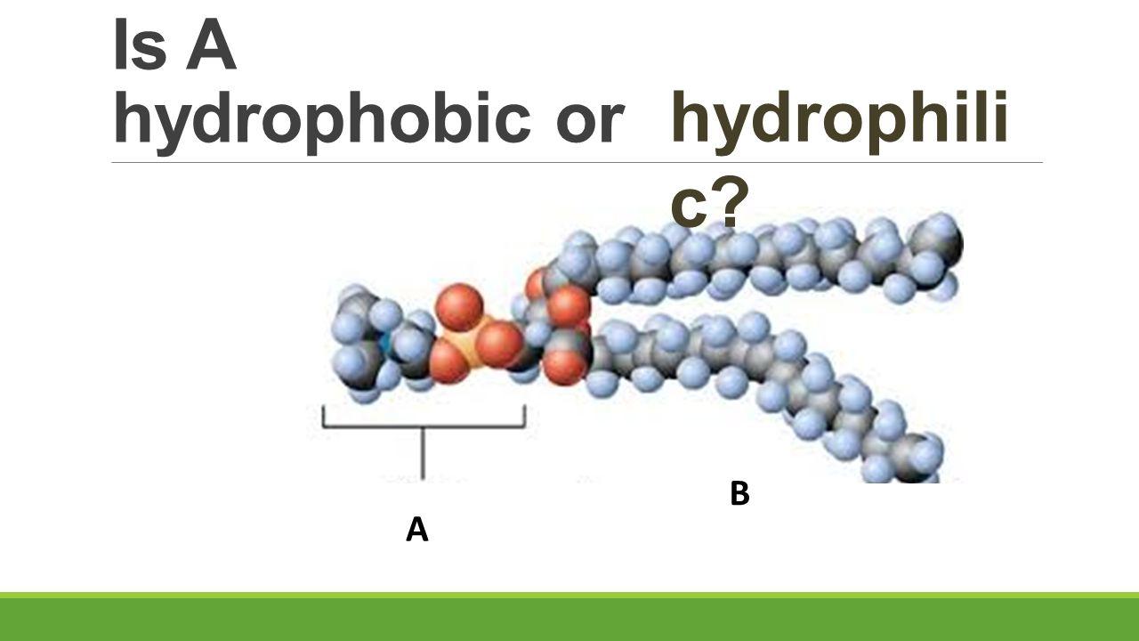 Is A hydrophobic or A B hydrophili c?