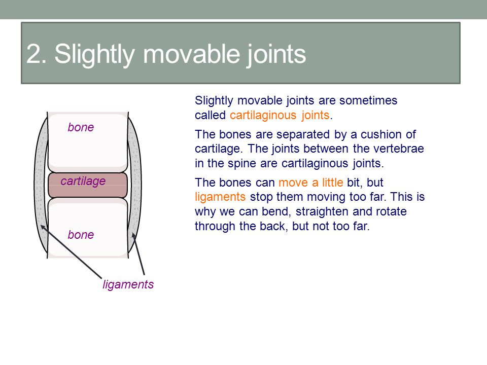 2. Slightly movable joints Slightly movable joints are sometimes called cartilaginous joints. The bones are separated by a cushion of cartilage. The j