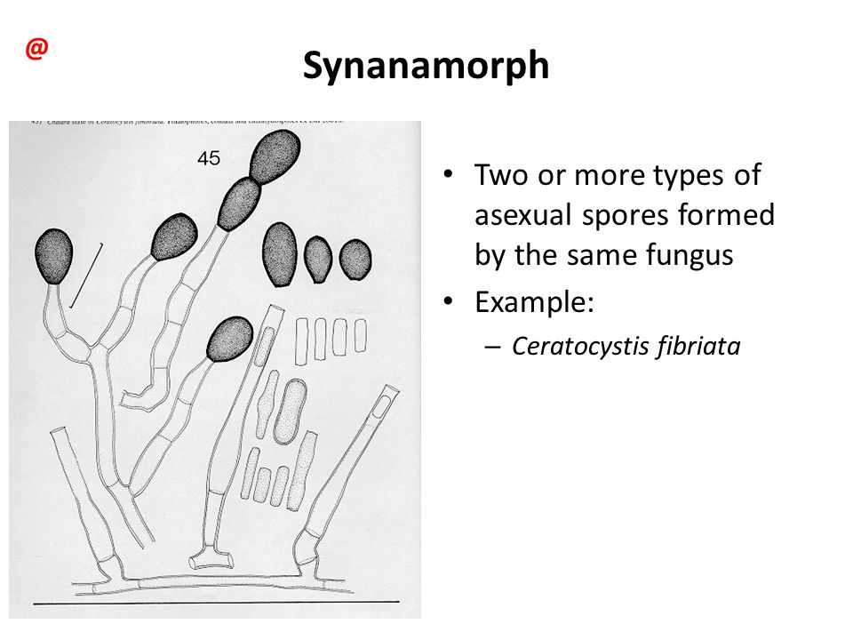 Synanamorph Two or more types of asexual spores formed by the same fungus Example: – Ceratocystis fibriata @