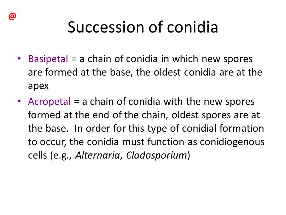 Succession of conidia Basipetal = a chain of conidia in which new spores are formed at the base, the oldest conidia are at the apex Acropetal = a chai