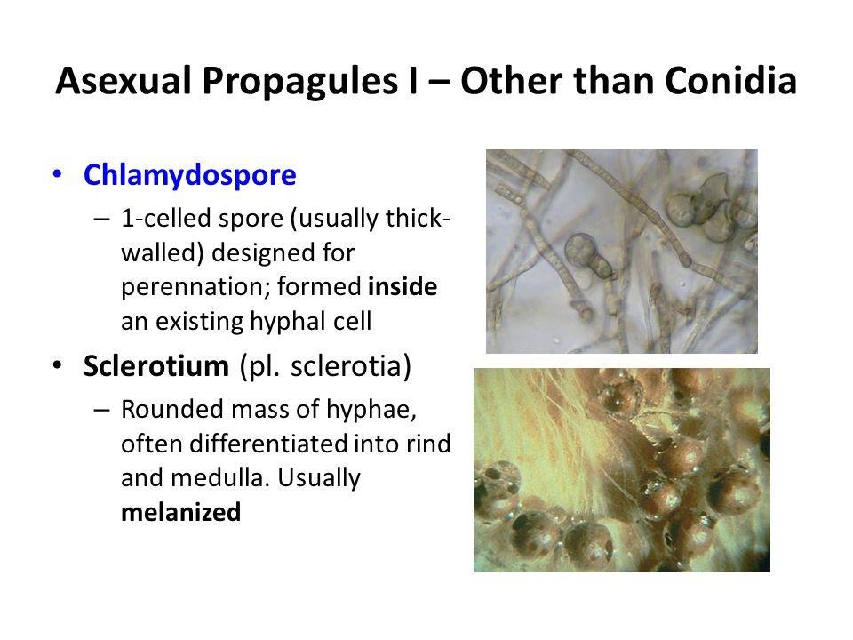 Asexual propagules II Conidia Conidium (pl.