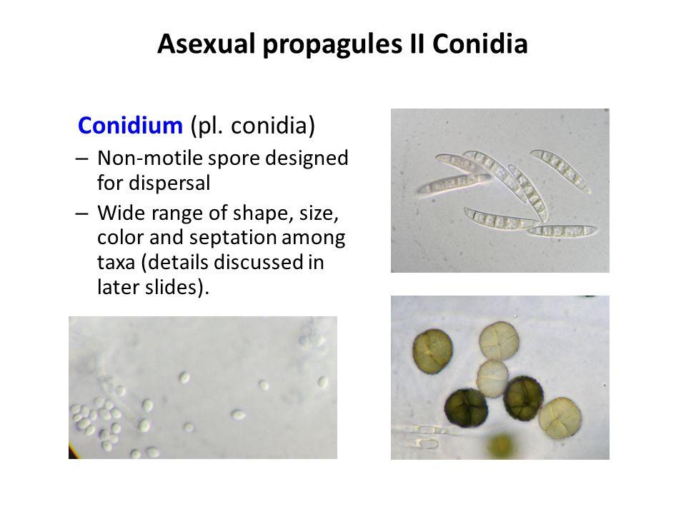 Pycnidium details