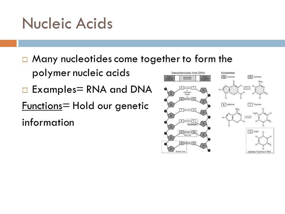 Nucleic Acids  Many nucleotides come together to form the polymer nucleic acids  Examples= RNA and DNA Functions= Hold our genetic information