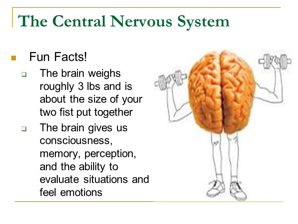 The Central Nervous System Fun Facts.