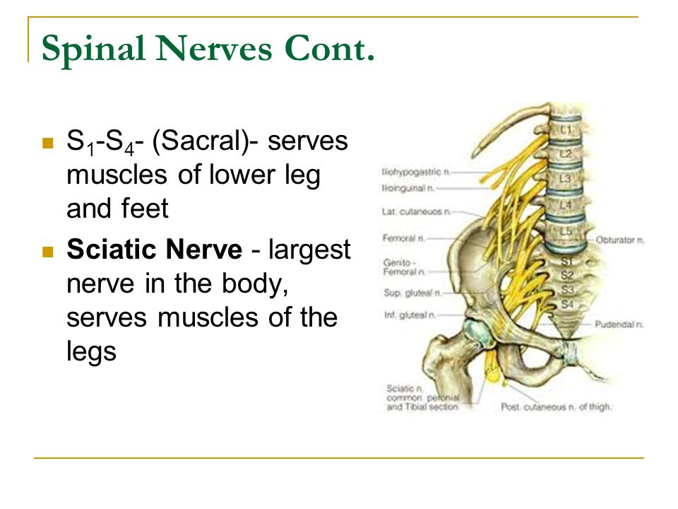 Spinal Nerves Cont.