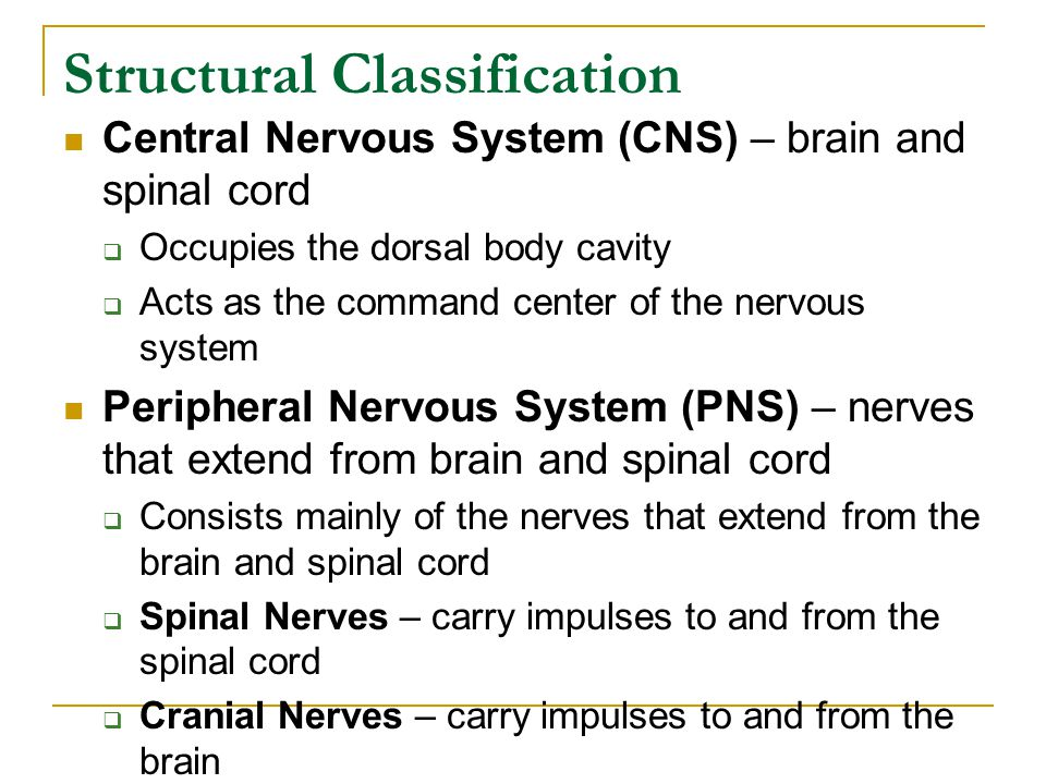 Structural Classification Central Nervous System (CNS) – brain and spinal cord  Occupies the dorsal body cavity  Acts as the command center of the nervous system Peripheral Nervous System (PNS) – nerves that extend from brain and spinal cord  Consists mainly of the nerves that extend from the brain and spinal cord  Spinal Nerves – carry impulses to and from the spinal cord  Cranial Nerves – carry impulses to and from the brain