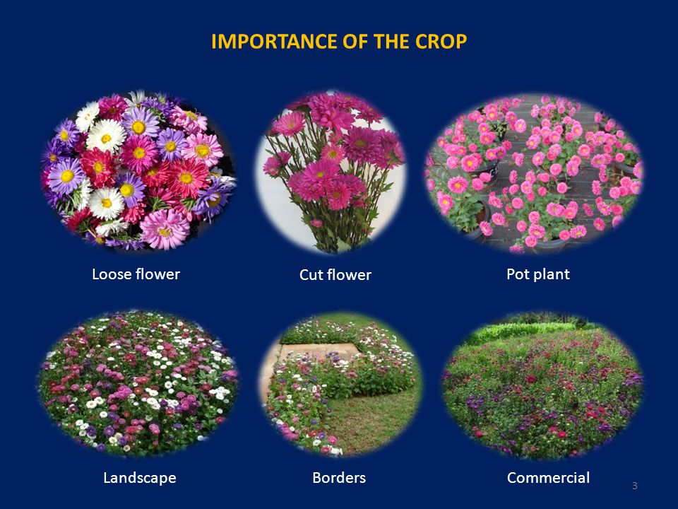 IMPORTANCE OF THE CROP Loose flower Cut flower Pot plant CommercialBordersLandscape 3