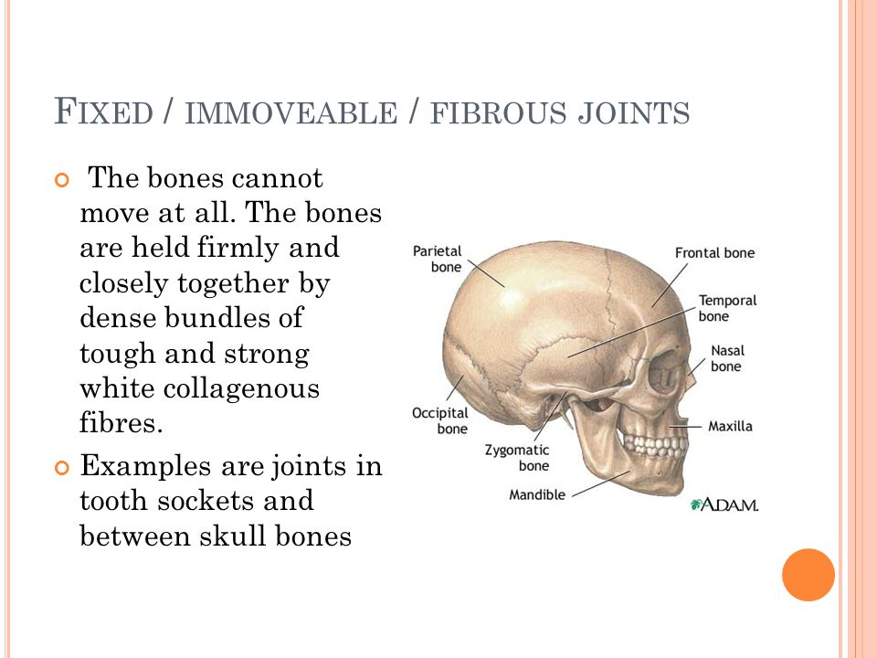 F IXED / IMMOVEABLE / FIBROUS JOINTS The bones cannot move at all. The bones are held firmly and closely together by dense bundles of tough and strong