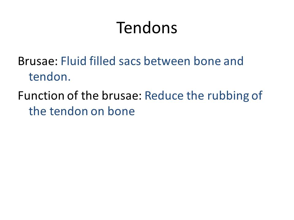Tendons Brusae: Fluid filled sacs between bone and tendon. Function of the brusae: Reduce the rubbing of the tendon on bone