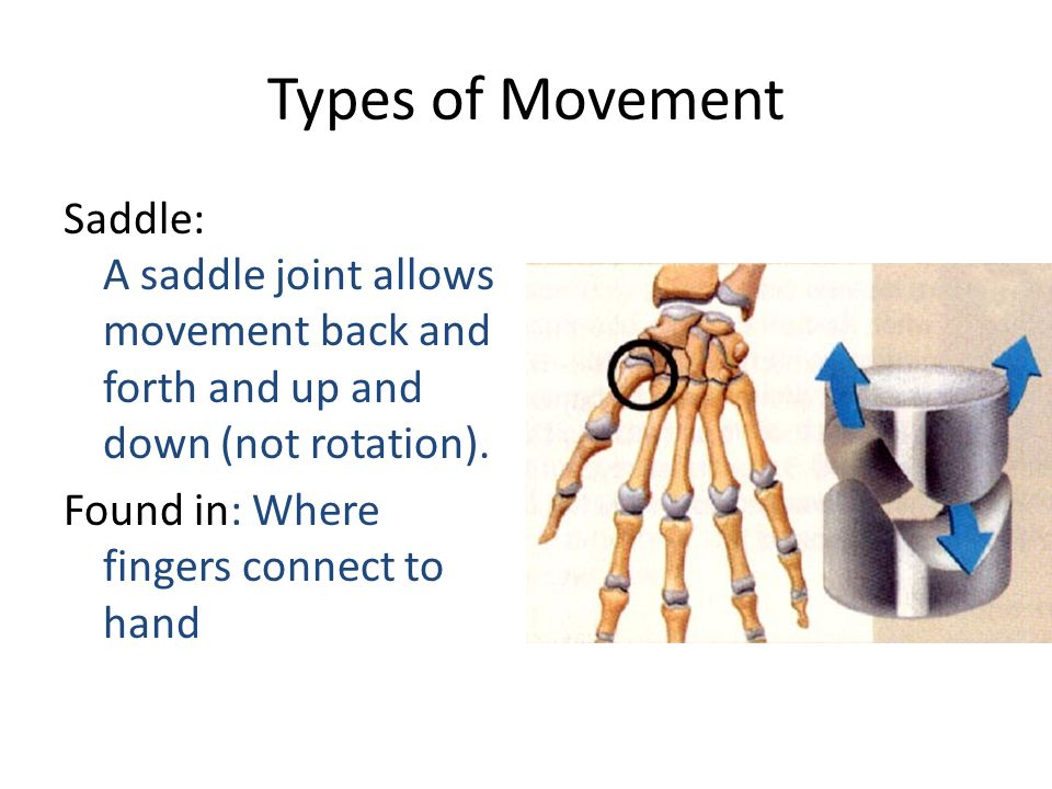 Types of Movement Saddle: A saddle joint allows movement back and forth and up and down (not rotation). Found in: Where fingers connect to hand