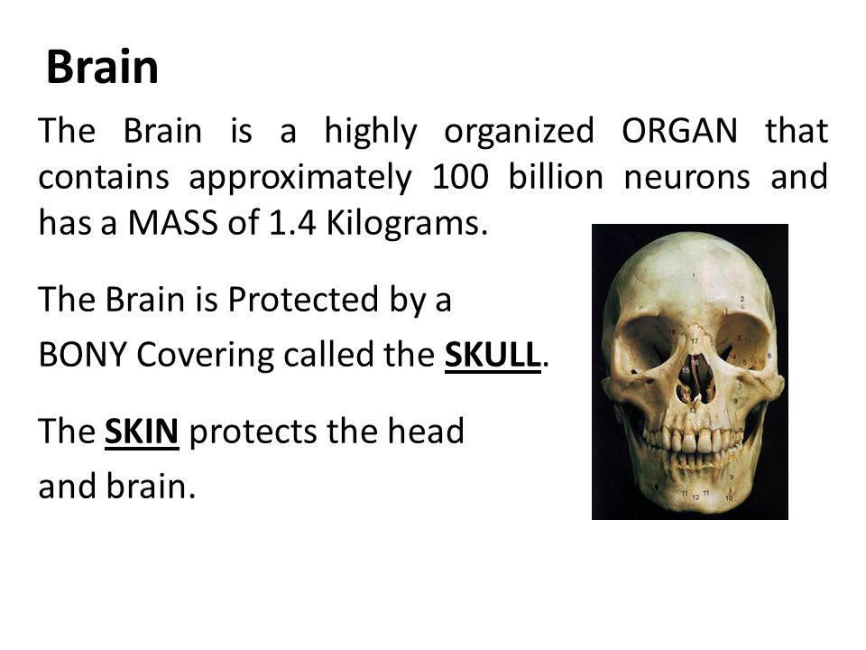 The Brain is a highly organized ORGAN that contains approximately 100 billion neurons and has a MASS of 1.4 Kilograms.